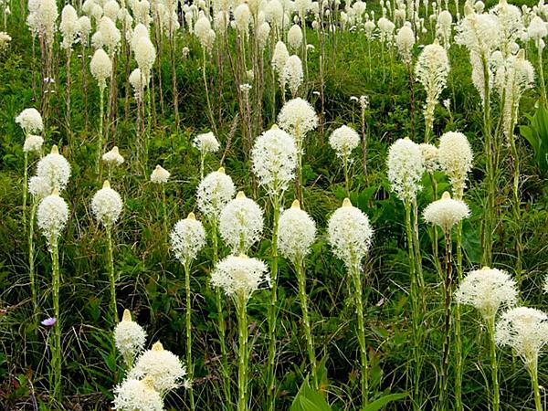 Common Beargrass (Xerophyllum Tenax) https://www.sagebud.com/common-beargrass-xerophyllum-tenax/
