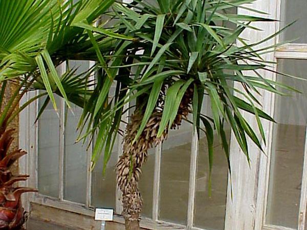 Aloe Yucca (Yucca Aloifolia) https://www.sagebud.com/aloe-yucca-yucca-aloifolia/
