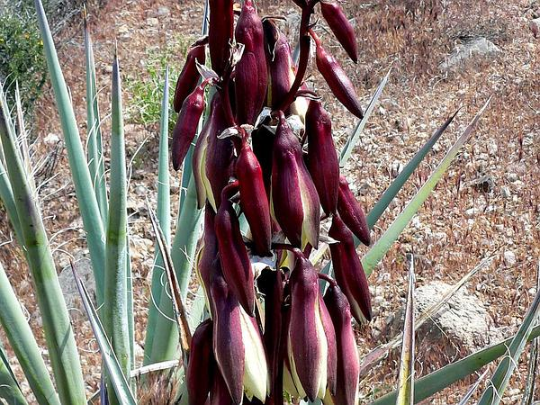 Banana Yucca (Yucca Baccata) https://www.sagebud.com/banana-yucca-yucca-baccata