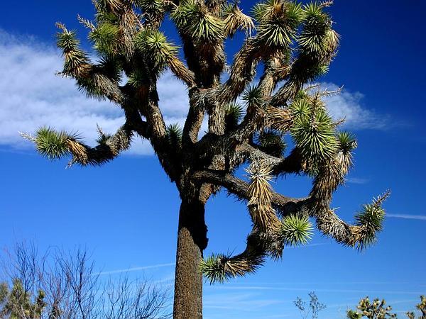 Joshua Tree (Yucca Brevifolia) https://www.sagebud.com/joshua-tree-yucca-brevifolia