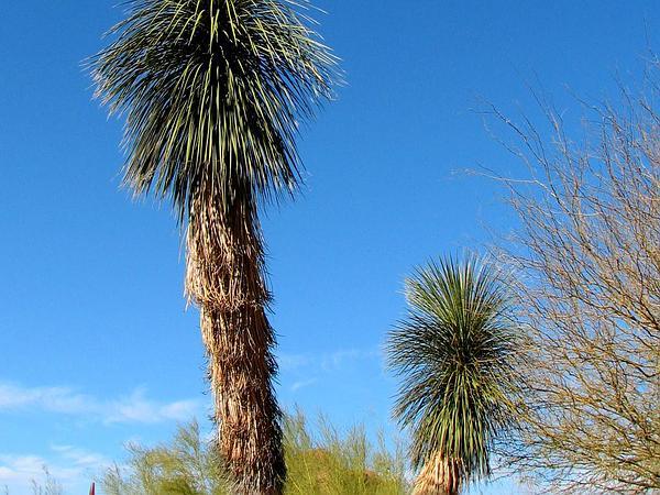 Soaptree Yucca (Yucca Elata) https://www.sagebud.com/soaptree-yucca-yucca-elata/