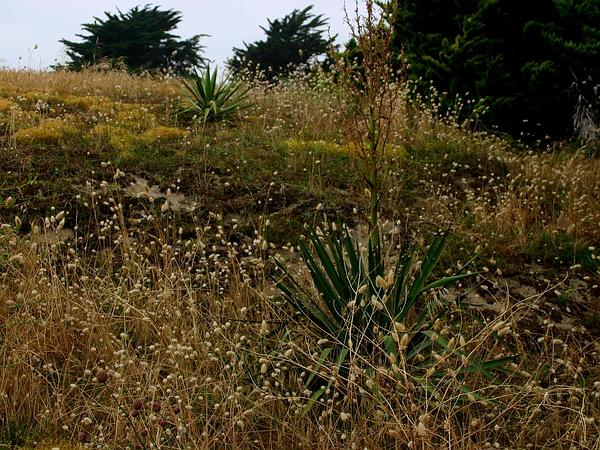 Adam's Needle (Yucca Filamentosa) https://www.sagebud.com/adams-needle-yucca-filamentosa