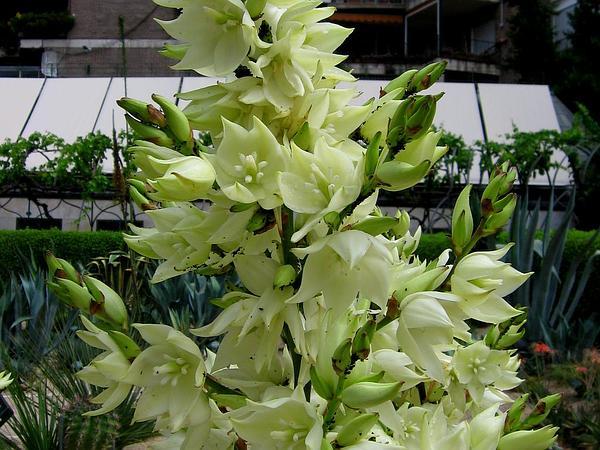 Weak-Leaf Yucca (Yucca Flaccida) https://www.sagebud.com/weak-leaf-yucca-yucca-flaccida/