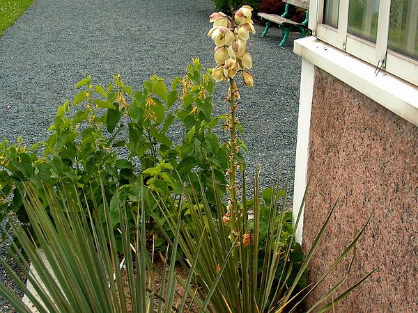 Soapweed Yucca (Yucca Glauca) https://www.sagebud.com/soapweed-yucca-yucca-glauca/