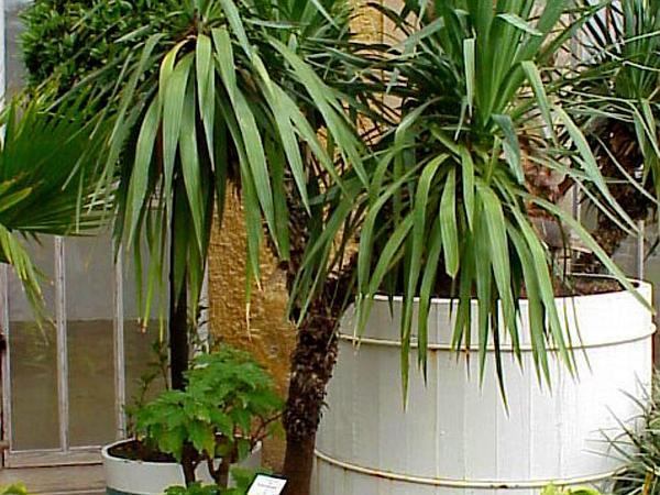 Moundlily Yucca (Yucca Gloriosa) https://www.sagebud.com/moundlily-yucca-yucca-gloriosa/
