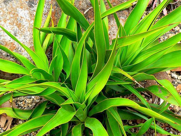 Texas Yucca (Yucca Rupicola) https://www.sagebud.com/texas-yucca-yucca-rupicola