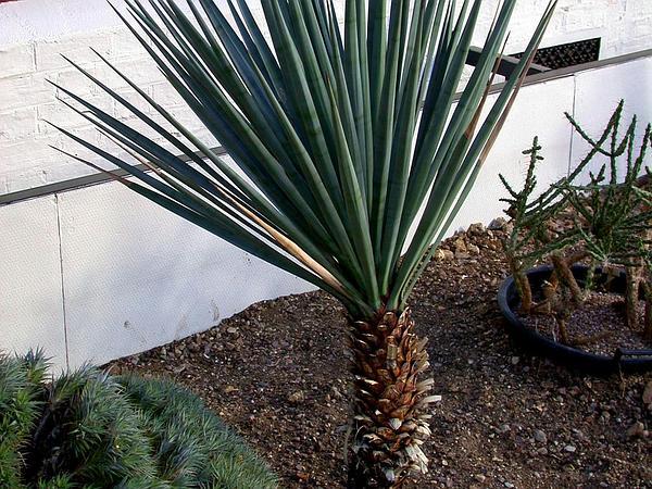 Schott's Yucca (Yucca Schottii) https://www.sagebud.com/schotts-yucca-yucca-schottii/