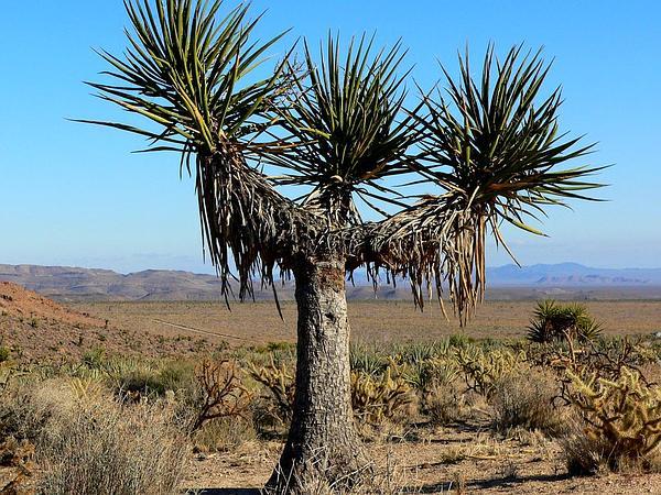 Mojave Yucca (Yucca Schidigera) https://www.sagebud.com/mojave-yucca-yucca-schidigera