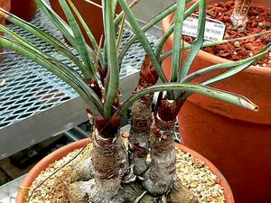 Torrey's Yucca