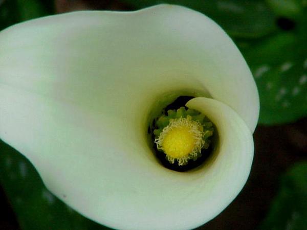 Spotted Calla Lily (Zantedeschia Albomaculata) https://www.sagebud.com/spotted-calla-lily-zantedeschia-albomaculata/