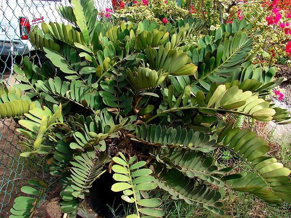 Cardboard Palm (Zamia Furfuracea) https://www.sagebud.com/cardboard-palm-zamia-furfuracea