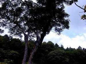 Kauai Pricklyash