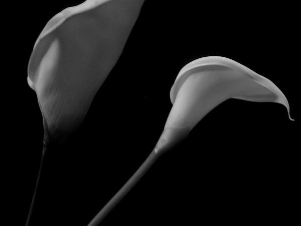 Calla Lily (Zantedeschia) https://www.sagebud.com/calla-lily-zantedeschia