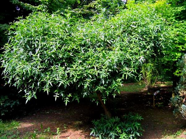 Pricklyash (Zanthoxylum) https://www.sagebud.com/pricklyash-zanthoxylum