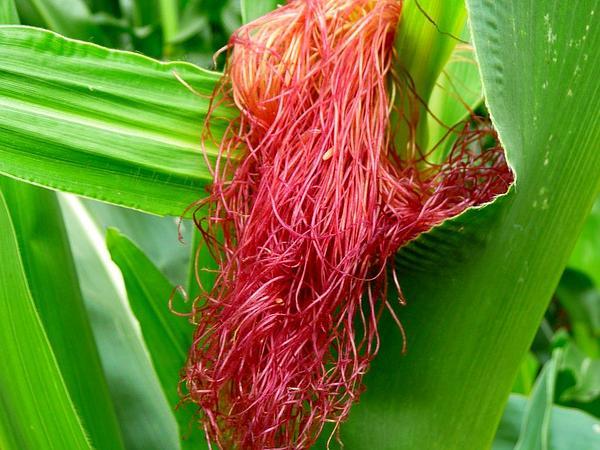 Corn (Zea) https://www.sagebud.com/corn-zea