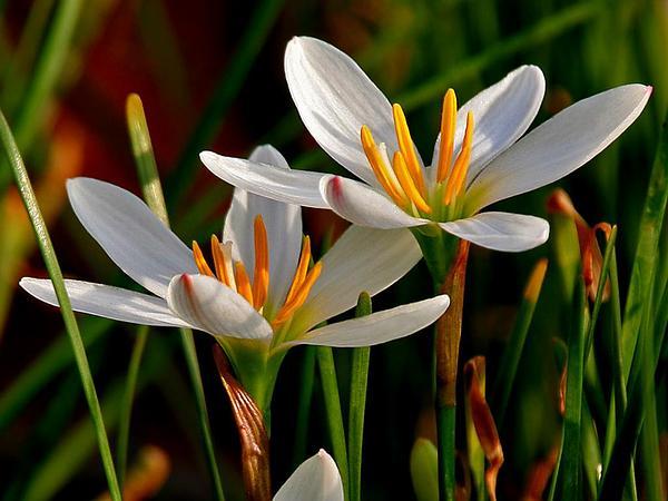 Autumn Zephyrlily (Zephyranthes Candida) https://www.sagebud.com/autumn-zephyrlily-zephyranthes-candida