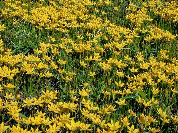 Citron Zephyrlily (Zephyranthes Citrina) https://www.sagebud.com/citron-zephyrlily-zephyranthes-citrina