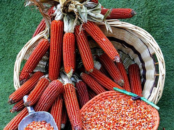 Corn (Zea Mays) https://www.sagebud.com/corn-zea-mays/