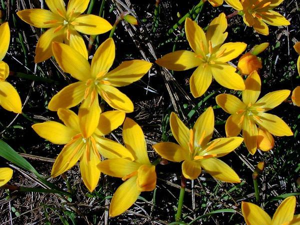 Zephyrlily (Zephyranthes) https://www.sagebud.com/zephyrlily-zephyranthes