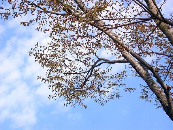 Japanese Zelkova (Zelkova Serrata) https://www.sagebud.com/japanese-zelkova-zelkova-serrata