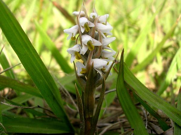 Soldier's Orchid (Zeuxine Strateumatica) https://www.sagebud.com/soldiers-orchid-zeuxine-strateumatica