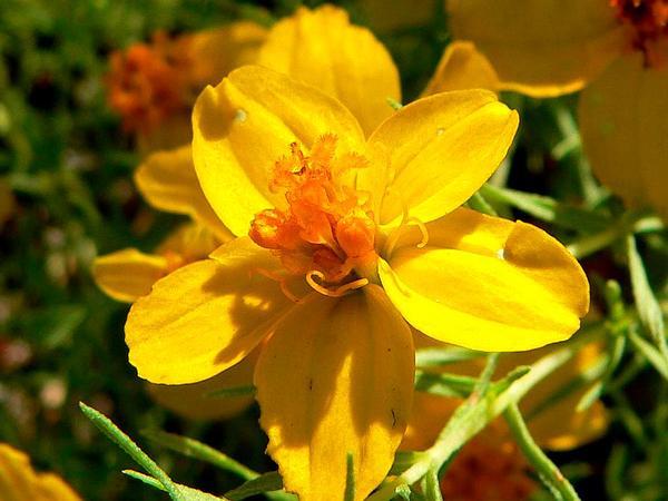 Rocky Mountain Zinnia (Zinnia Grandiflora) https://www.sagebud.com/rocky-mountain-zinnia-zinnia-grandiflora