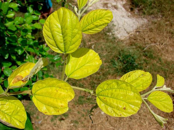 Indian Jujube (Ziziphus Mauritiana) https://www.sagebud.com/indian-jujube-ziziphus-mauritiana/