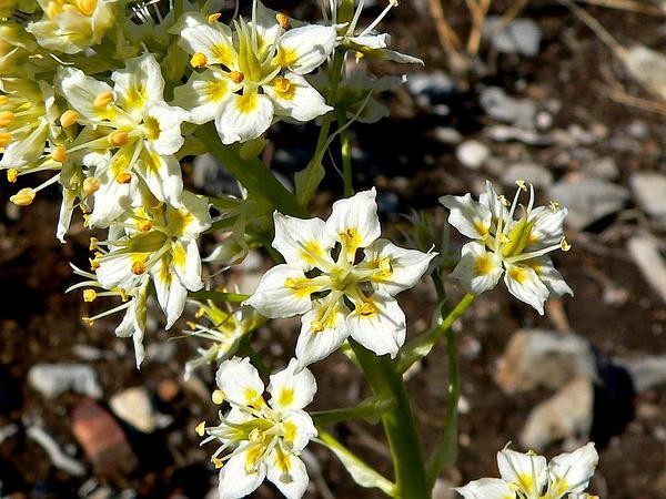 Foothill Deathcamas (Zigadenus Paniculatus) https://www.sagebud.com/foothill-deathcamas-zigadenus-paniculatus