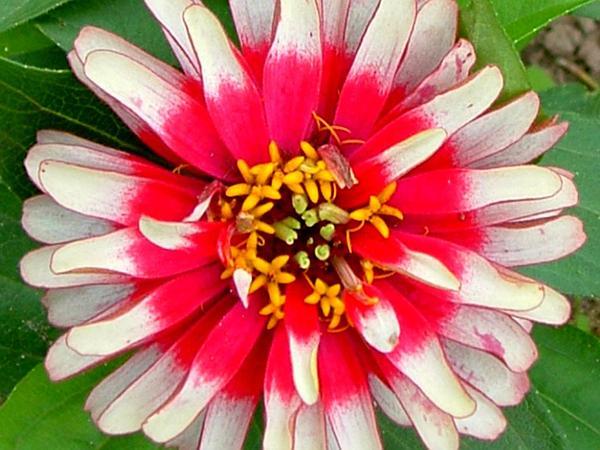 Elegant Zinnia (Zinnia Violacea) https://www.sagebud.com/elegant-zinnia-zinnia-violacea