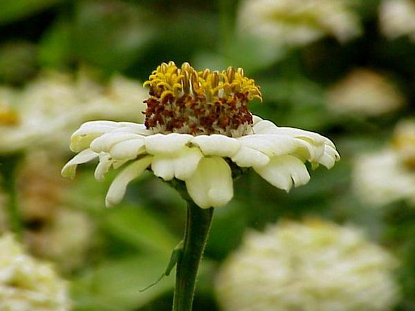 Elegant Zinnia (Zinnia Violacea) https://www.sagebud.com/elegant-zinnia-zinnia-violacea/