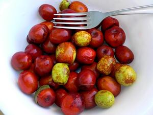 Common Jujube