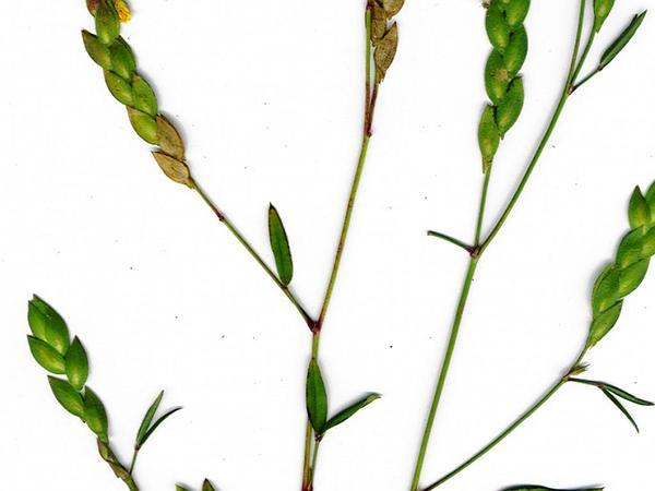 Neto Hoja Zarzabacoa De Dos Hojas (Zornia Reticulata) https://www.sagebud.com/neto-hoja-zarzabacoa-de-dos-hojas-zornia-reticulata