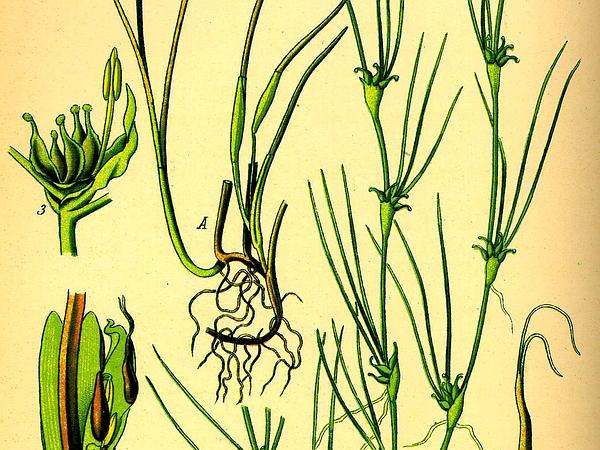 Eelgrass (Zostera) https://www.sagebud.com/eelgrass-zostera