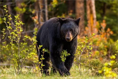 Jasper black bear c2a9 christopher martin photography 9739 small