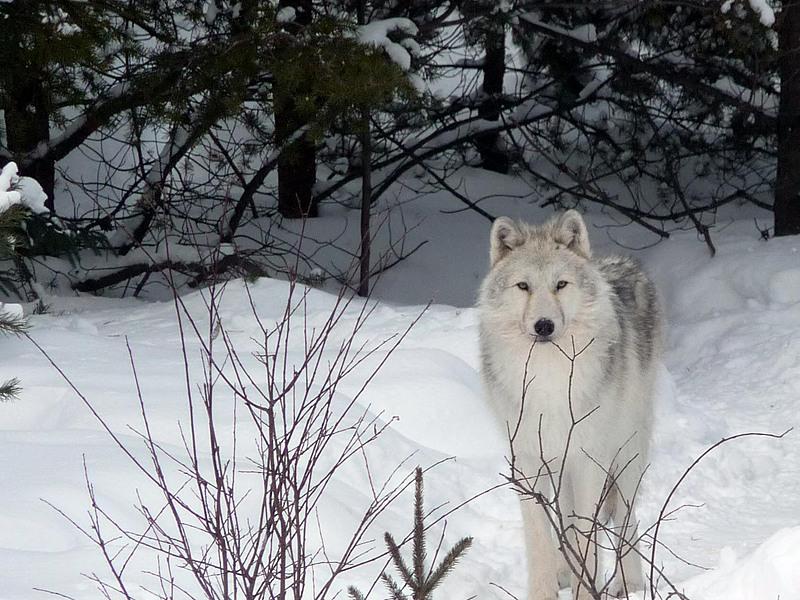 Loup arctique big