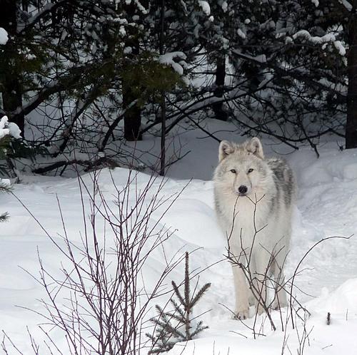 Loup arctique small