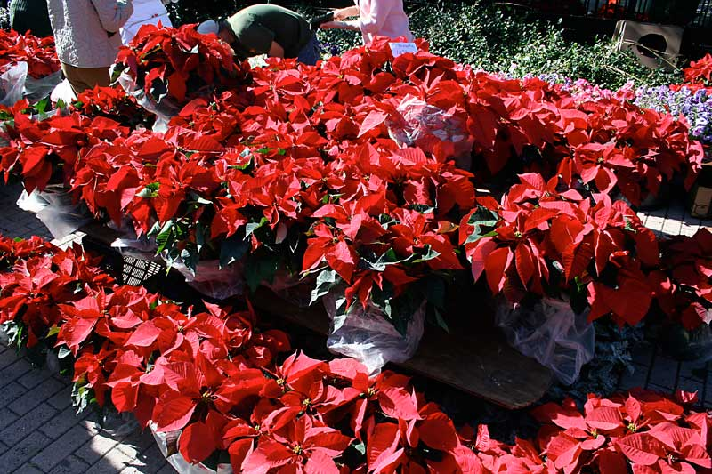 Poinsettias at the Winter Park Farmers Market