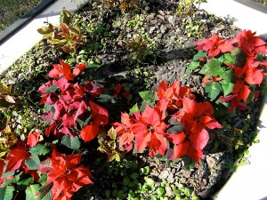 Poinsettias on our patio - before Florida Frost