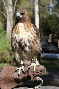 Things to do with kids in Sanford FL - Hawk at Sanford Zoo