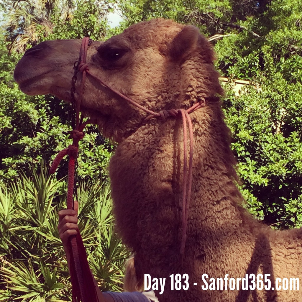 Camel at the Sanford Zoo