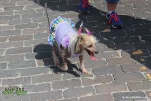 Dog in a Dress at Pints n Paws in Downtown Sanford