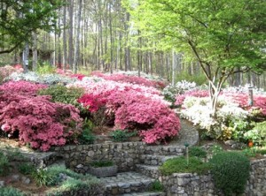 More than 2,000 azaleas have perished at a home in Rome during the drought. Credit: Rome News-Tribune