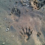 Photo of raccoon tracks at Zonolite Park.