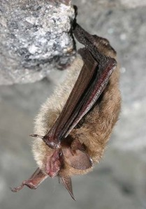 The white-nose disease is driving the Northeastern long-eared bat to the brink of extinction. Numbers have decreased by 99 percent in the Northeast and the species could be listed next years as an endangered species. Credit: fws.gov