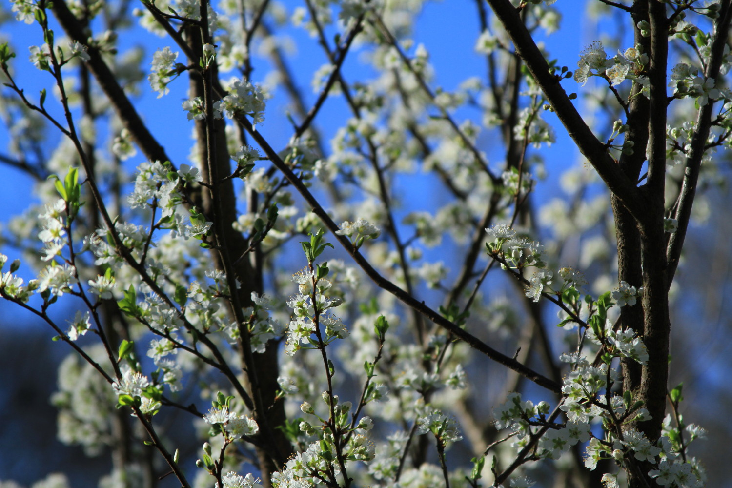 Blossoming fruit tree in Kirkwood Urban Forest (KUF) by Anke Larkworthy