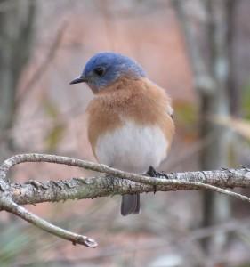 Eastern bluebird. Credit: James Zainaldin