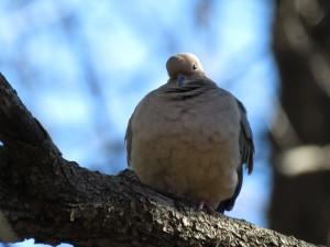 Mourning dove. Credit: James Zainaldin