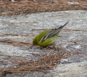 Pine warbler. Credit: James Zainaldin