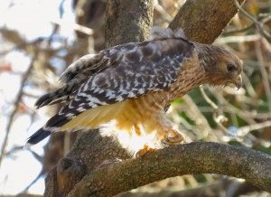 Red-shouldered hawk. Credit: James Zainaldin