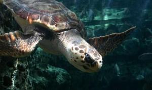 Loggerhead sea turtle, UGA